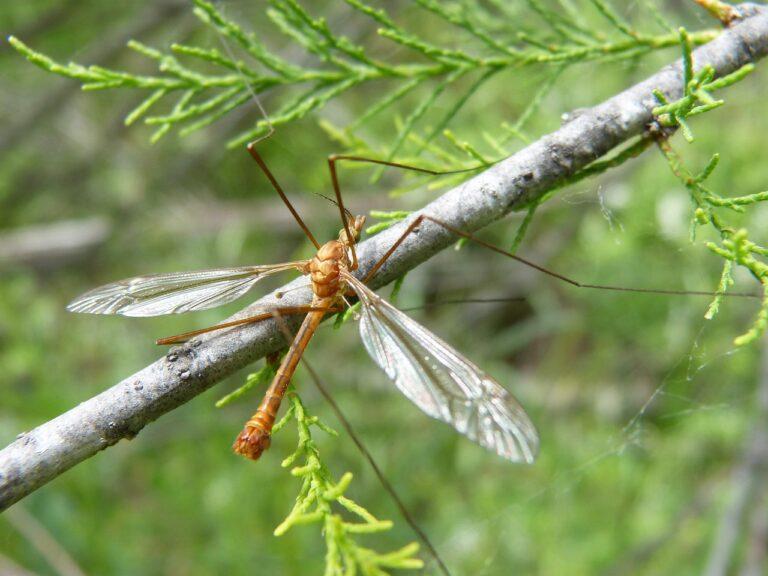 Les tipules ou moustiques géants sont-ils nuisibles ?